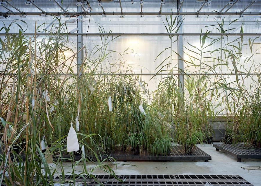 Thomas Struth Sorghum, Danforth Plant Science Center, St Louis 2017 Inkjet print, 159,8 x 221,6 cm © Thomas Struth